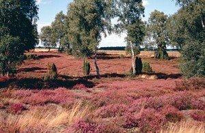 Lüneburger Heide (les bruyères de Lüneburg) dans Urlaubsorte in Frankreich - Vos vacances en Allemagne 150-300x195